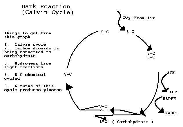 Photosynthesis the dark reactions are a cycle because the 5 carbon chemical rubp ribulose bisphosphate is recycled over and over in the reaction the following diagram ccuart Image collections